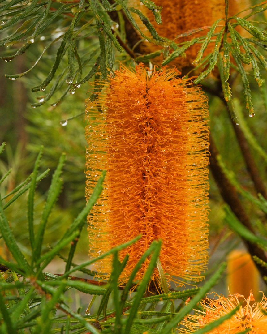 Banksia spinulosa var. collina