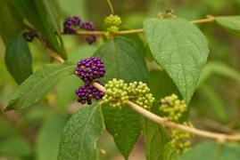 Callicarpa pendunculata