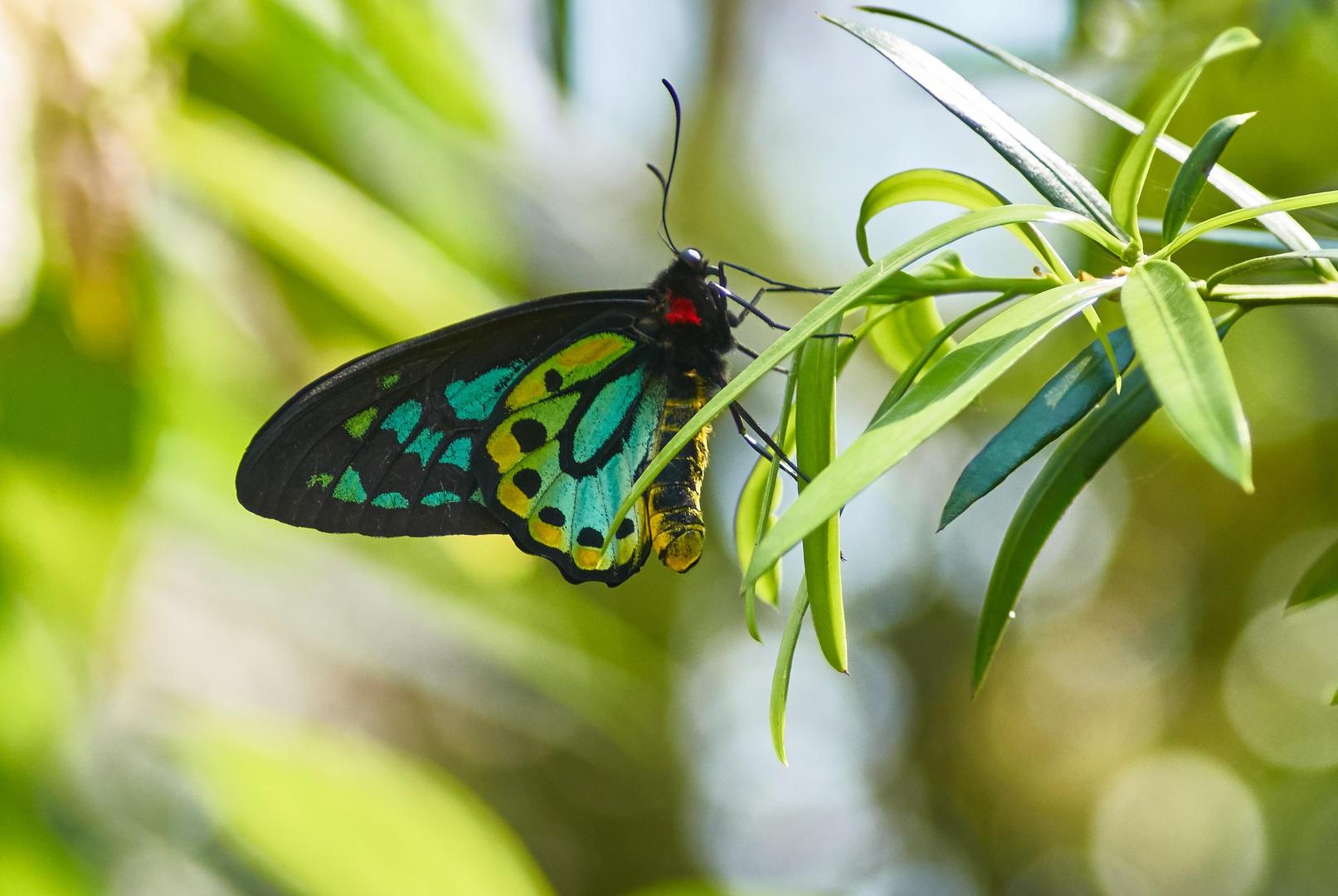 Pararistolochia praevenosa (Birdwing Butterfly Vine)