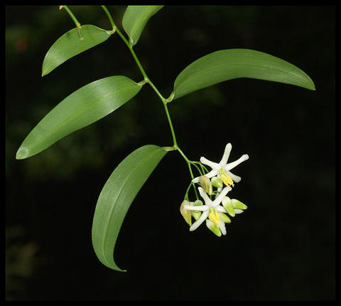 Geitonoplesium cymosum