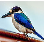Forest Kingfisher.jpg