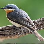 Leaden Flycatcher.jpg