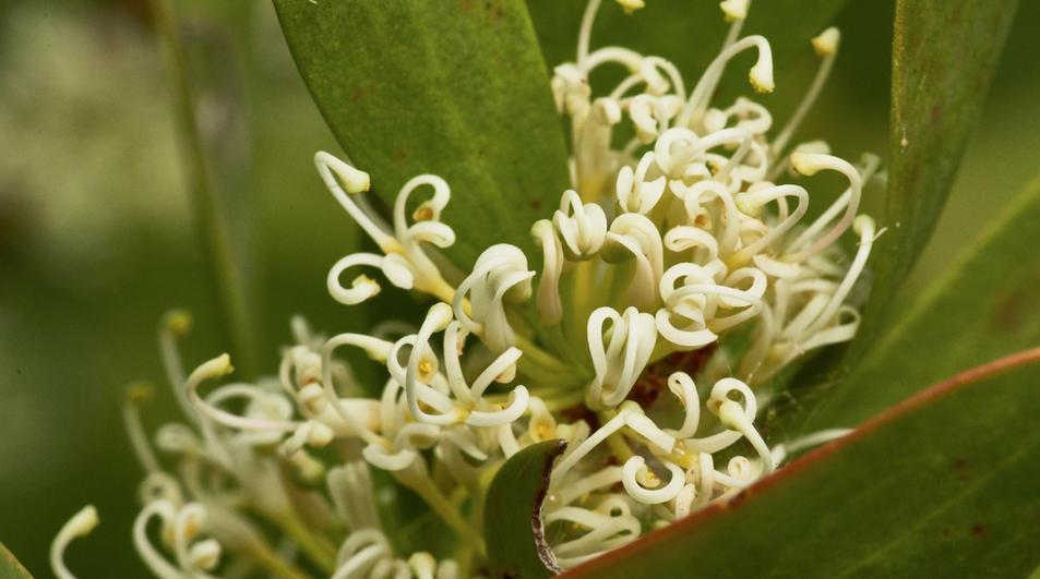 Hakea florulenta