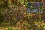 Hovea acutifolia (Purple Pea Bush)