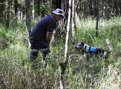 Bear the koala tracking dog