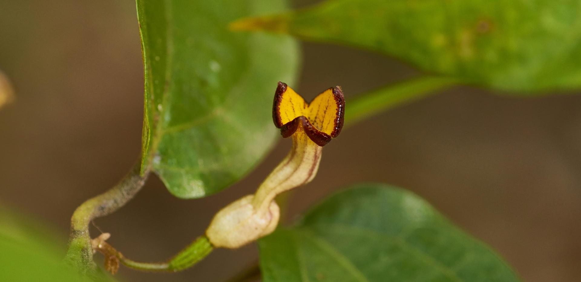 Pararastolochia praevenosa