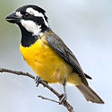 Crested Shrike-tit.jpg