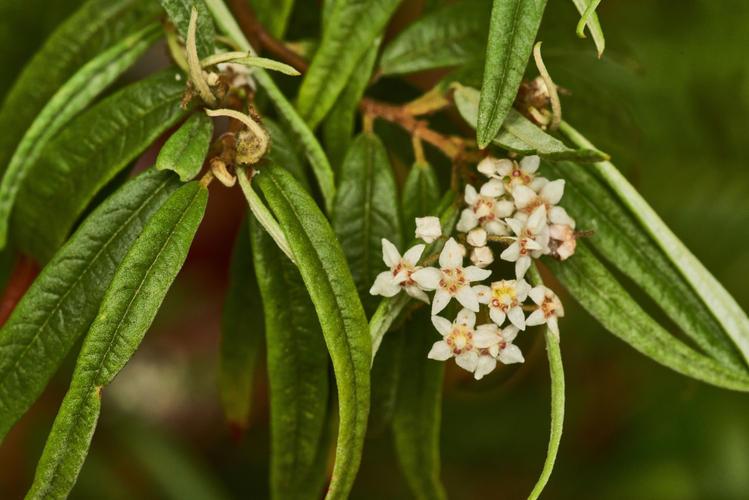 Commersonia salviifolia (Grey Rulingia)