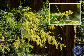 Acacia fimbriata