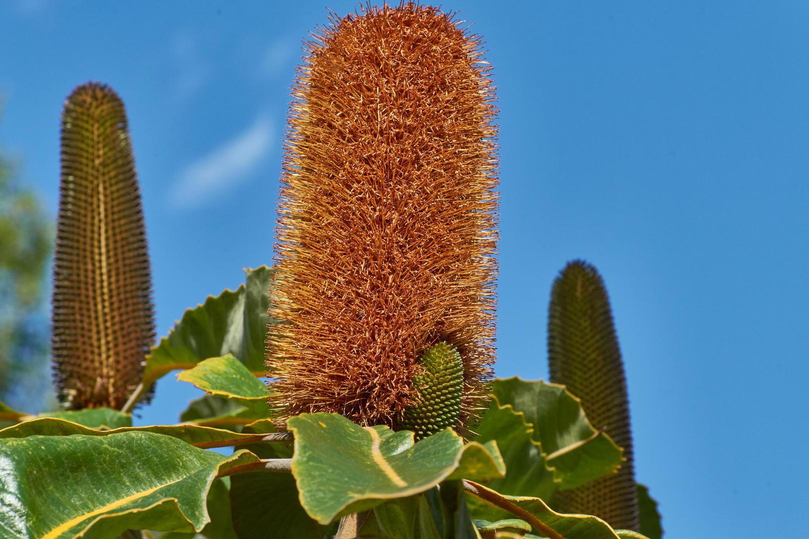 Banksia robur (Swamp Banksia)