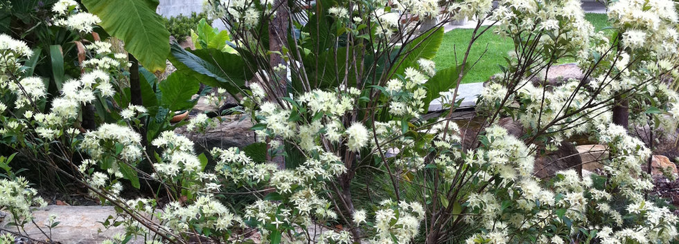 Backhousia myrtifolia (Grey Myrtle).JPG