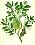 Banksia_integrifolia_watercolour_from_Ba