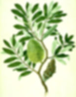Banksia_integrifolia_watercolour_from_Ba