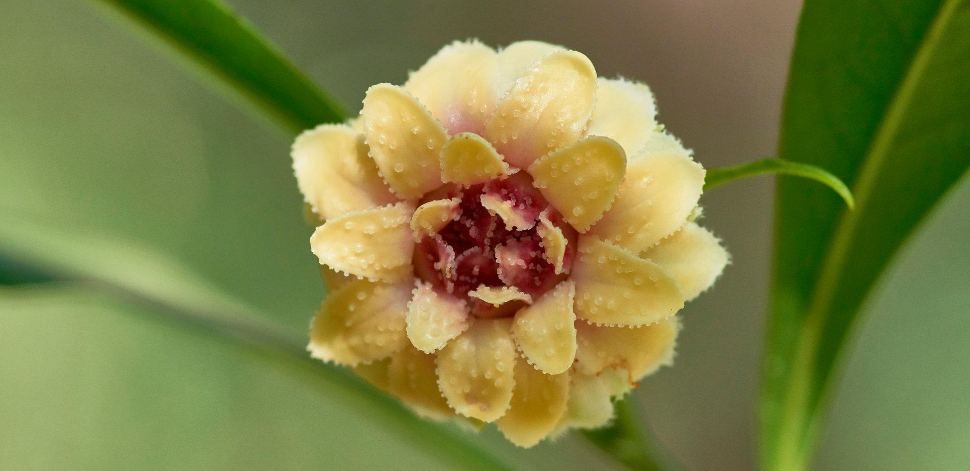 Eupomatia bennettii.jpg