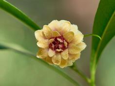 Eupomatia bennettii