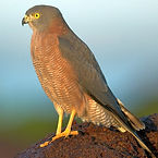 Brown Goshawk.jpg