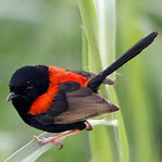 Red-backed Fairywren.jpg