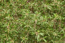Elaeocarpus reticulatus