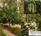 Macadamia integrifolia (Macadamia)