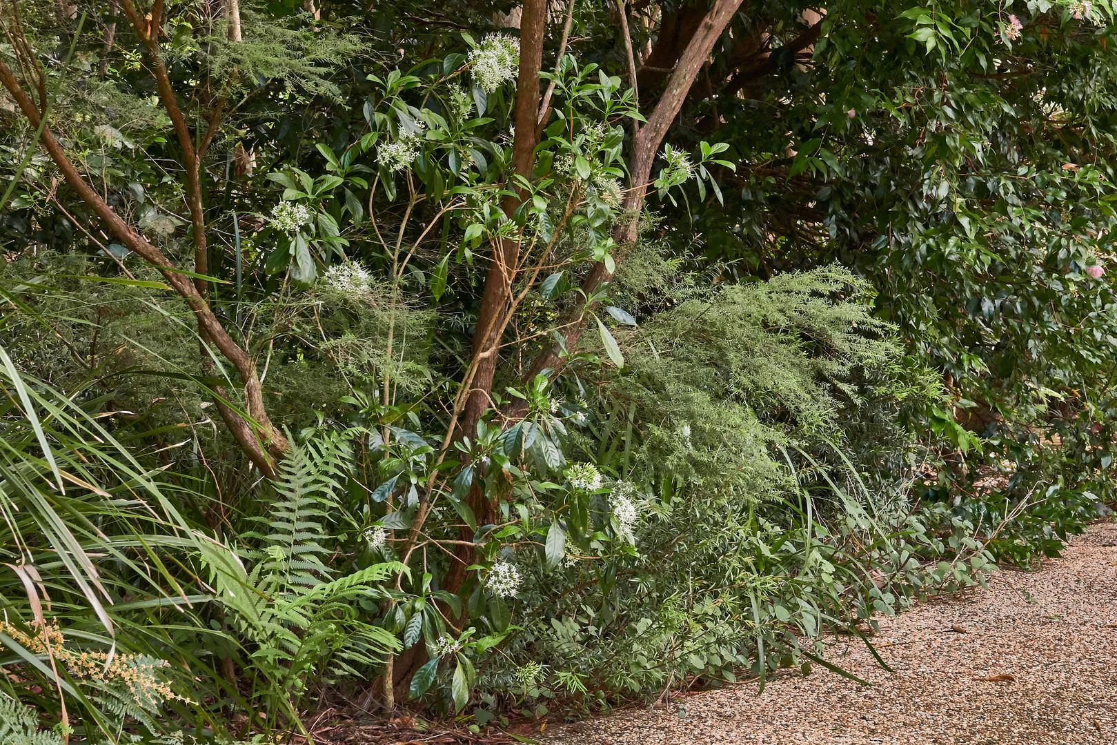Pavetta australiensis