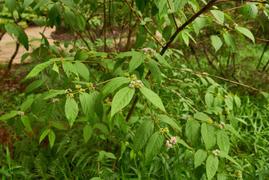 Callicarpa pedunculata