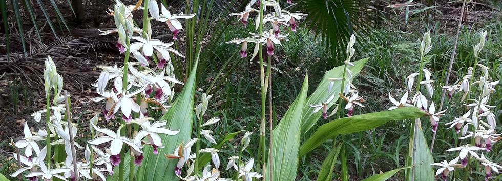 Phaius australis