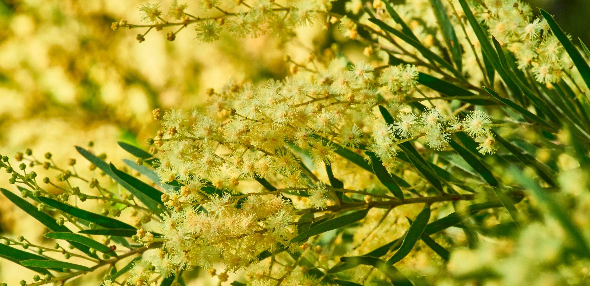 Acacia fimbriata.jpg