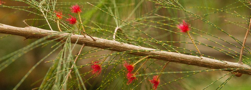 Allocasuarina thalassoscopica  (Mount Coolum Casuarina)