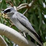 White-bellied Cuckoo-shrike.jpg
