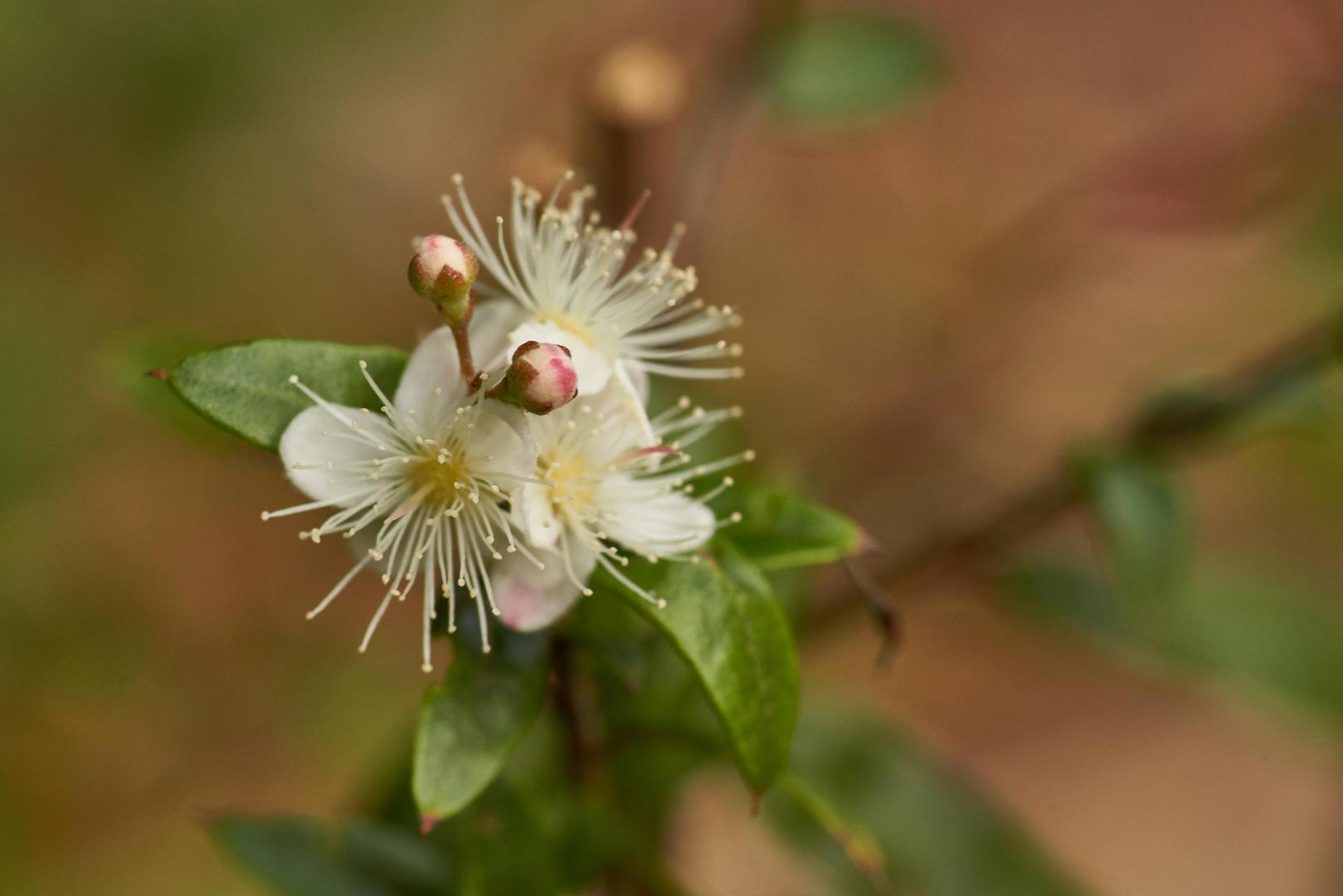 Austromyrtus dulcis
