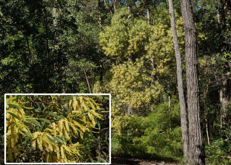 Acacia concurrens.jpg