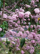 Melicope elleryana