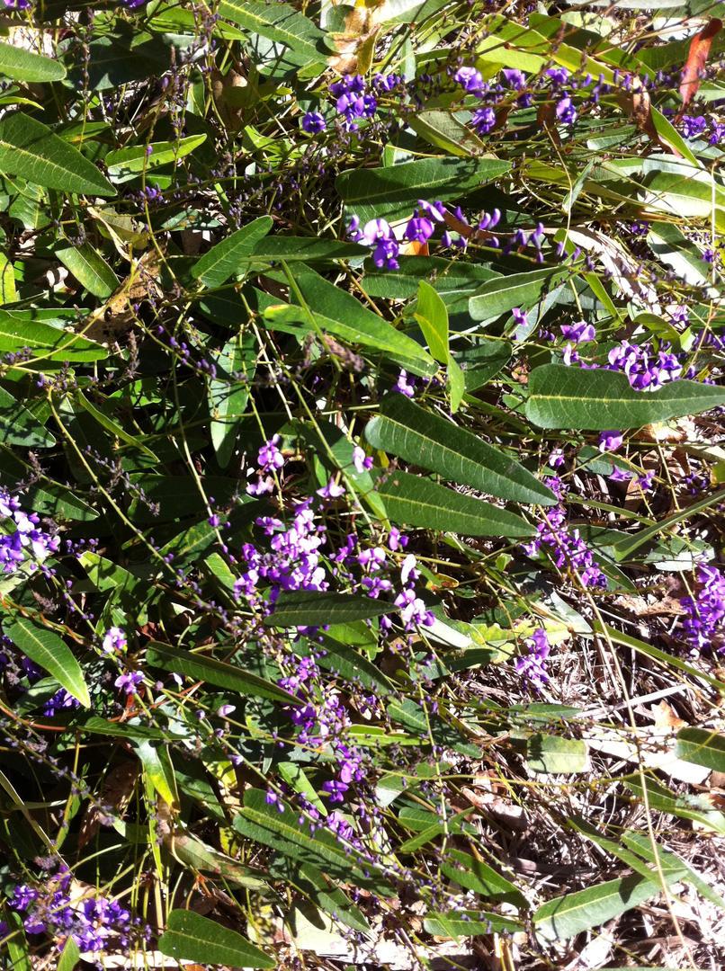 Hardenbergia violaceae