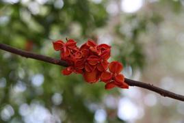 Lepiderema pulchella (Fine-leaved tuckeroo)