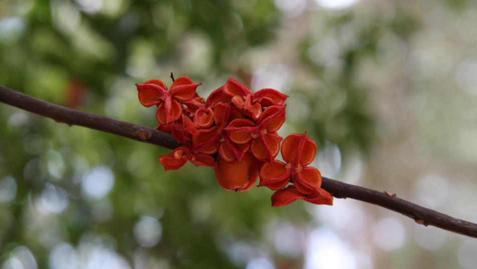 12.2012 Fine-leafed Tuckeroo3.JPG