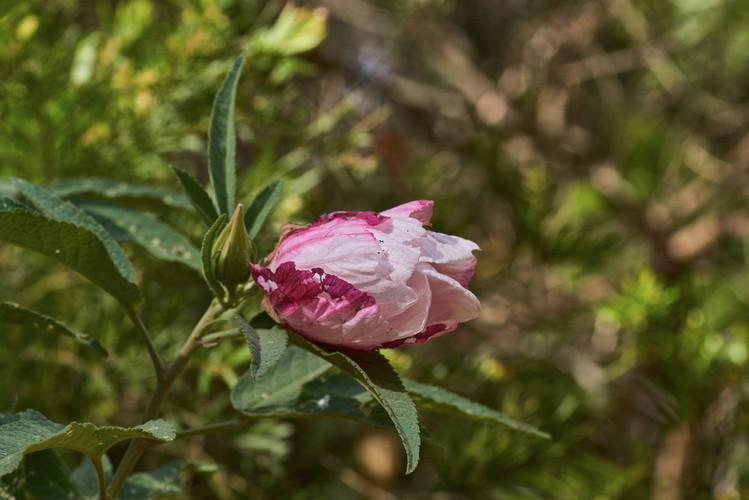 Hibiscus splendens (Splendid hibiscus)