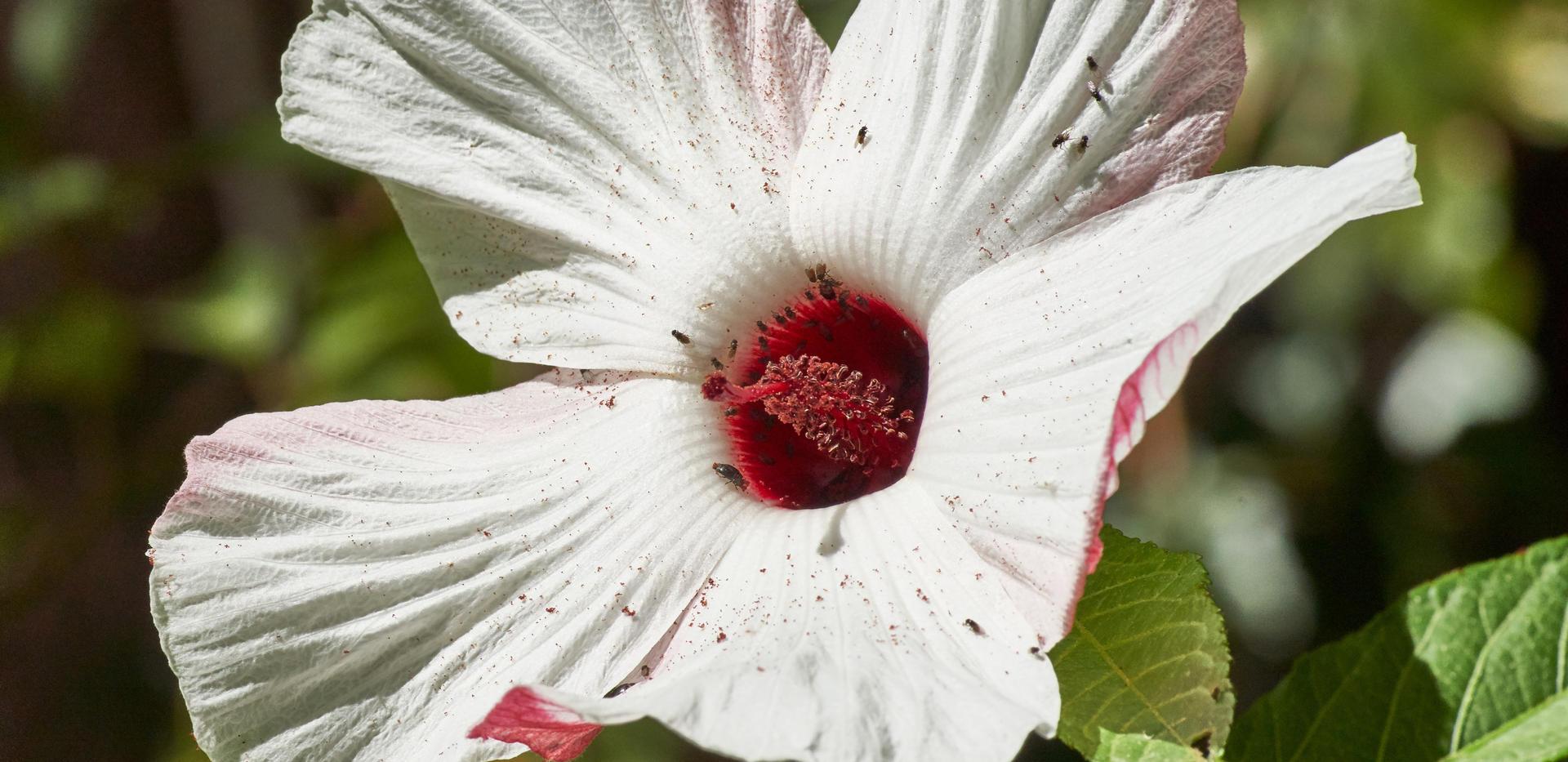 070M17_118 Hibiscus heterophyllus resize
