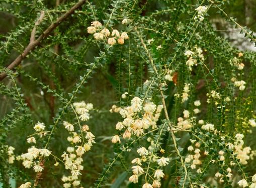 Acacia hubbardiana