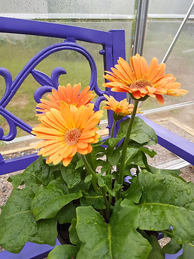 Amazing! this was in the beginning of November, daisies, nasturiums, petunias, mint,.... wonderful!  all photos subject to copyright