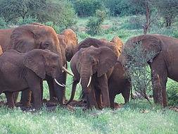 Elefanen in Tansania
