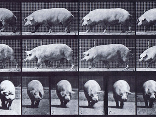 WADDLES The Pig Show: The Experiment of Muybridge photographs