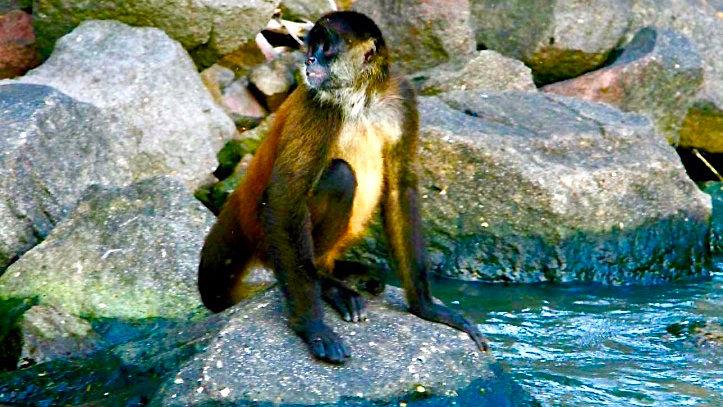 Island Monkey, Nicaragua
