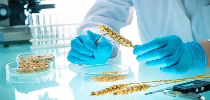 110 Developing new wheat varieties.webp