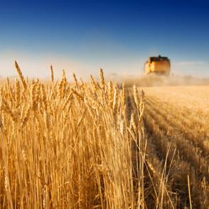 Wheat crop to fall
