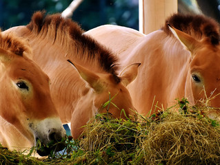 How to Maintain Thrush and the Equine Hoof