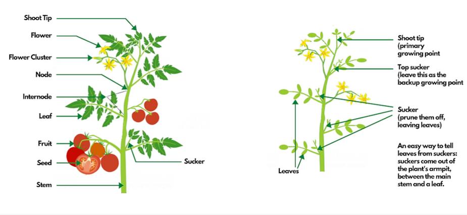 tomato pruning.png