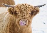 01 licky-cow.jpg