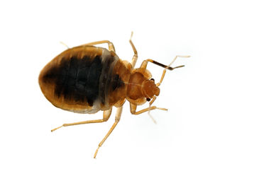 Bed bug Cimex lectularius isolated on wh