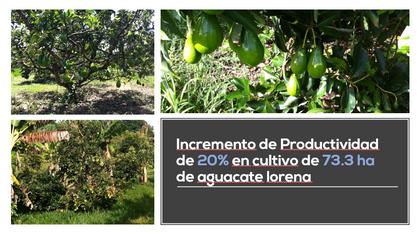 Incremento de Producción Cultivo de Aguacata Lorena