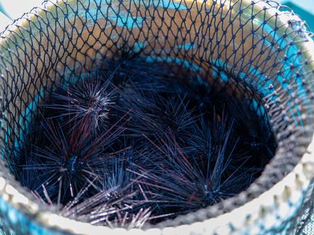 ムラサキウニ漁解禁2021